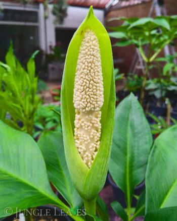 Amorphophallus fallax inflorescence