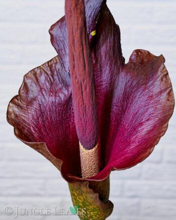 Amorphophallus konjac inflorescence2