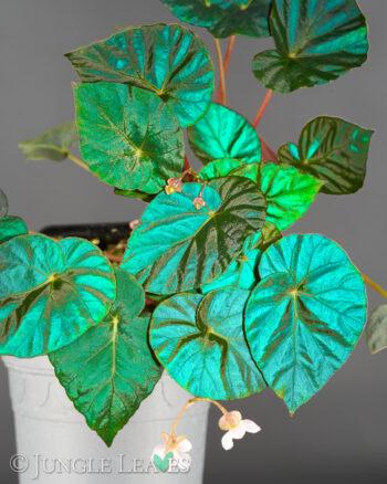 Begonia pavonina 'Cyan form'