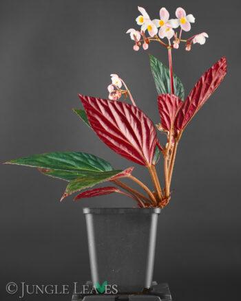 Begonia U639