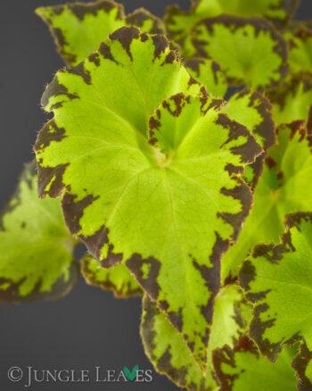 Begonia bowerae var. bowerae