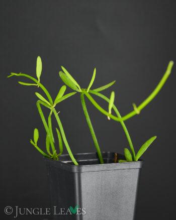 Ant plant vine