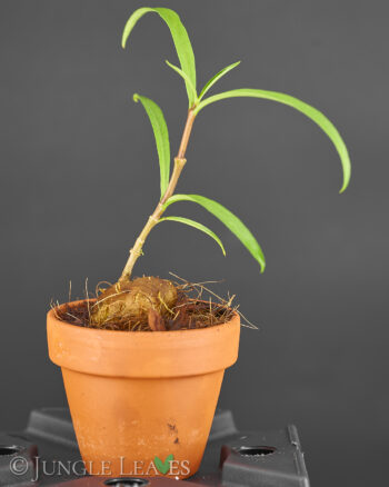 Hydnophytum puffii