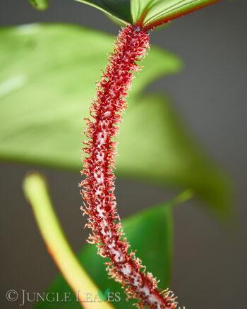 Philodendron squamiferum, petiole