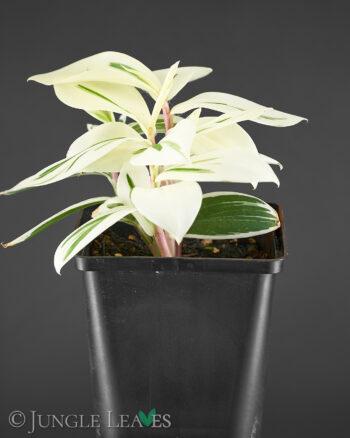 Costus arabicus 'variegata'