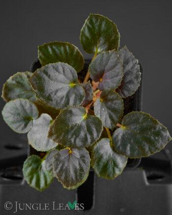 Begonia metachroa